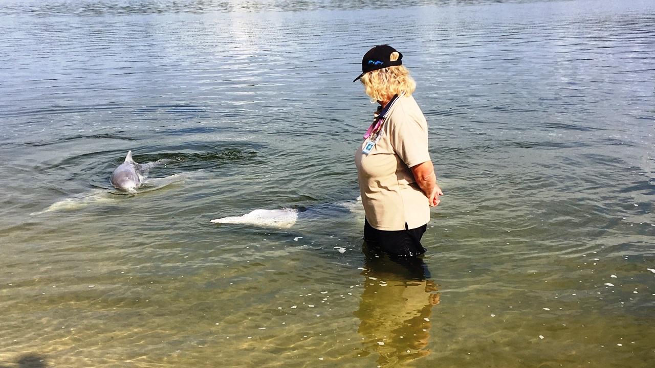 Wild dolphin feeding at Tin Can Bay