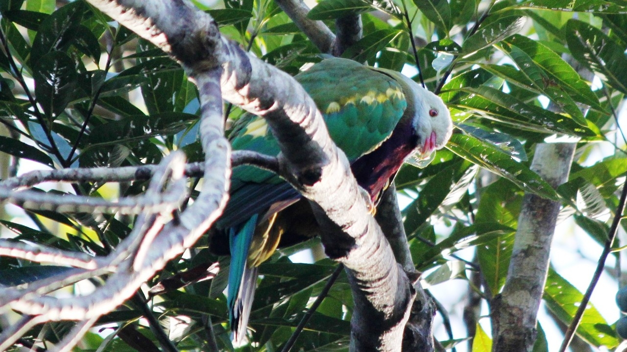 Rare Whampoo bird