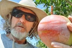 Picking  huge mangos in January